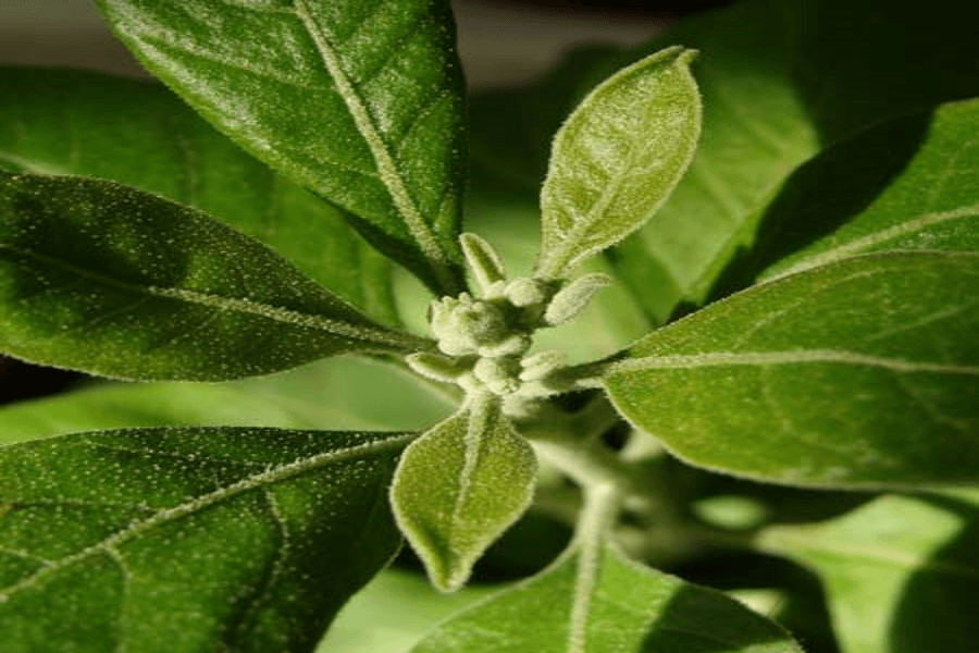 The Power Herb: Try Ashwagandha to Spice up Your Sex Life