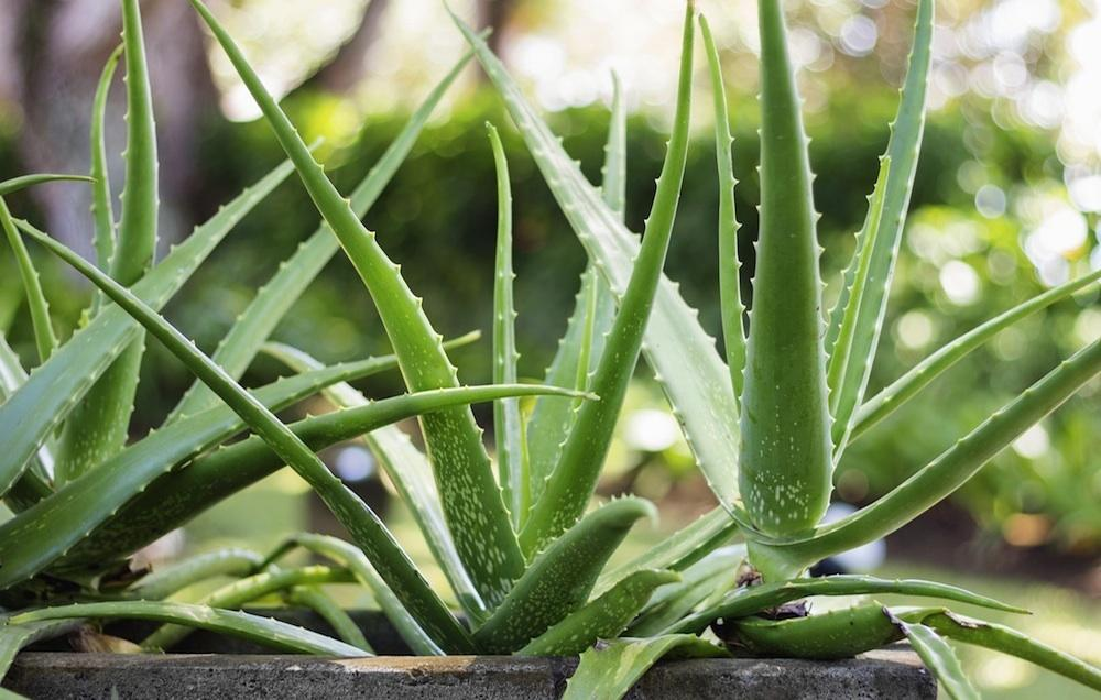 chrisjamesmindbody the many benefits of aloe vera gel aloe vera is a